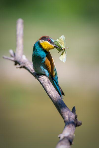 guepier papillon